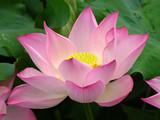 Pink Lotus, West Lake, Hangzhou, China poster