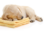 Golden retriever puppy having a nap poster