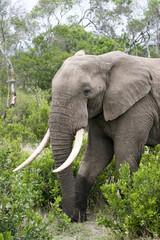 elephant in the masai mara bush