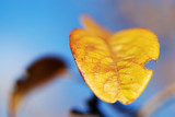 Autumn leaf with minimal depth of Field. poster