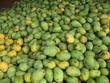 Mango Früchte,  Amazonas