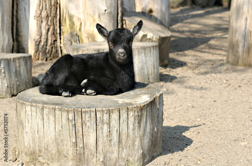 Little black goat in a zoo