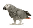 roleta: African Grey Parrot in front of a white background