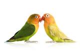 Peach-faced Lovebirdin