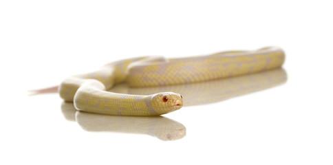 Corn Snake - Elaphe guttata in front of a white background