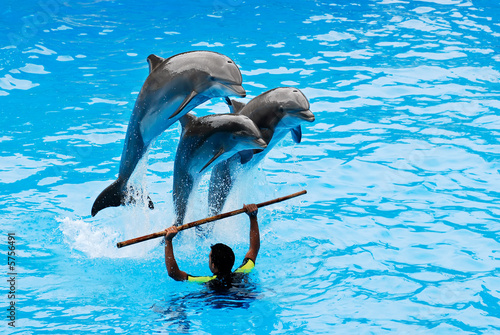 The instructor with his three jumping dolphins. - 5756491