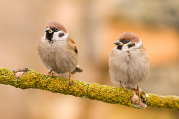 couple sparrows on a stick