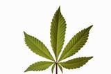 feuille de marijuana poster