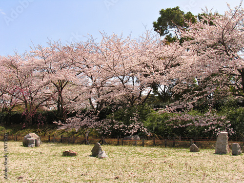 Sakura trees in blossom over stones garden