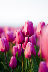 beautifull tulips