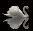 Quadro Reflected Swan