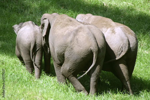 small herd of elephants, south india