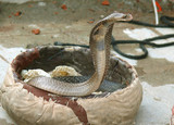 king cobra coming out, rishikesh, india poster