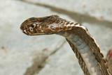closeup of king cobra, rishikesh, india poster