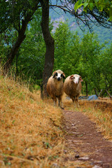 rams and sheep walk