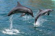 Bottlenose dolphins leaping out of the water