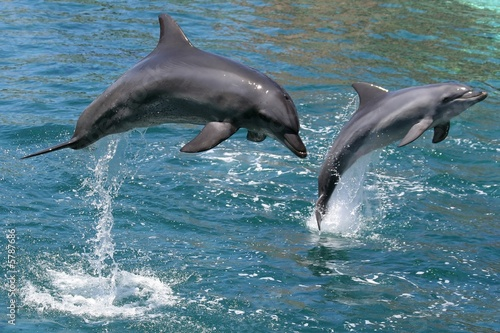 Dolphin Bottlenose dolphins leaping out of the water