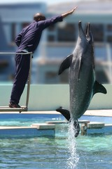 Bottlenose dolphin leaping out of the water to trainer