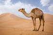 Lone Camel in the Desert  sand dune with blue sky