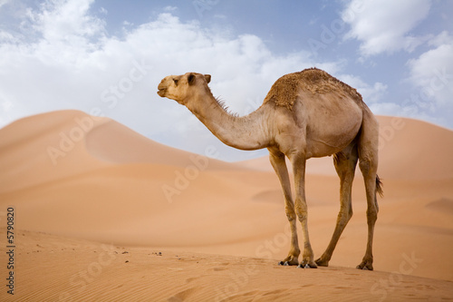Papiers peints Maroc Lone Camel in the Desert sand dune with blue sky