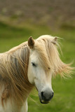 Iceland horse poster