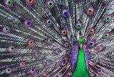 Psychedelic peacock with his tail feathers on display  poster