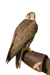Peregrine Falcon crossbred Merlin sitting on gloved hand