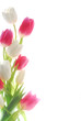 white and red tulips against white background