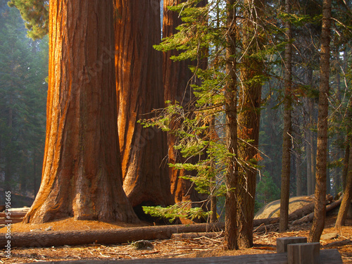 Three majestic sequoias standing tall in partial sunlight