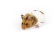 Hamster schleicht