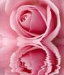 beautifful pink rose center close up shoot