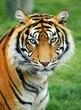 roleta: Tiger