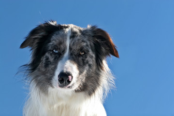 Portrati of a bluemerle border collie against blue sky