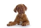 bordeaux dog, french mastiff puppy poster