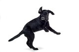 black labrador pup isolated on white poster