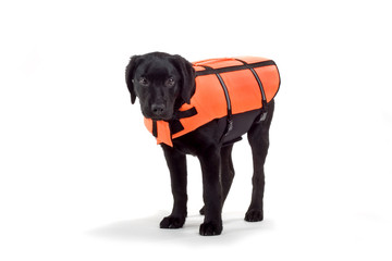 life-guard dog