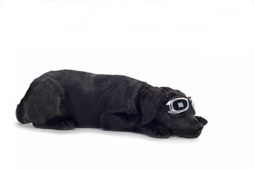black labrador pup isolated on white