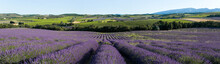 vue panoramique champ de lavande en Provence