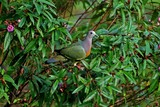 thick-billed pigeon in the bushes poster