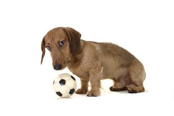 Duchshund with a ball
