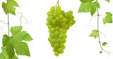 backdrop of grapes and vine-leaves isolated  poster