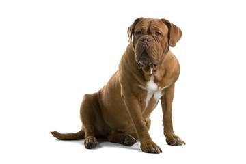 bordeaux dog, french mastiff isolated on white