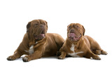 bordeaux dogs, french mastiff poster