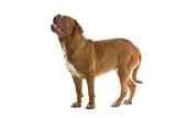bordeaux dog, french mastiff poster