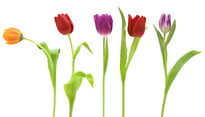Row of pretty tulips isolated on white