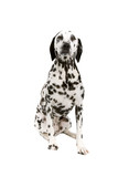 dalmatian dog  isolated on a white background poster
