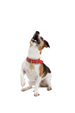jack russel terrier dog isolated on a white background. poster