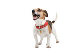 jack russel terrier dog isolated on a white background poster