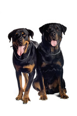two rotweiler dogs