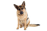 German Shepherd sitting down  poster